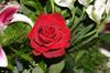 Rose_smaller